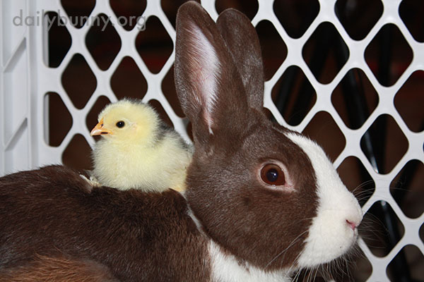 Bunny Befriends Some Chicks 1