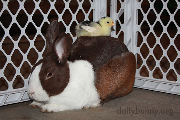 Bunny Befriends Some Chicks 2
