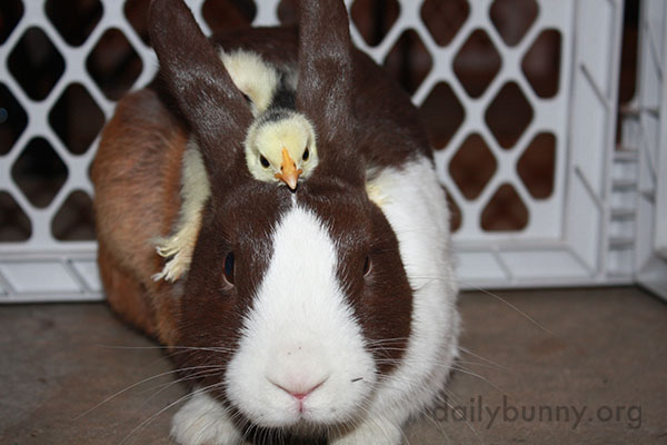 Bunny Befriends Some Chicks 3