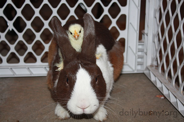 Bunny Befriends Some Chicks 4
