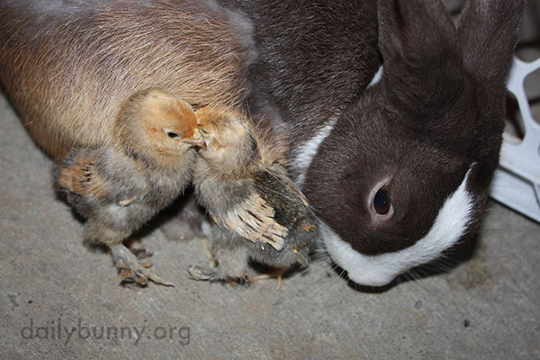 Bunny Befriends Some Chicks 6