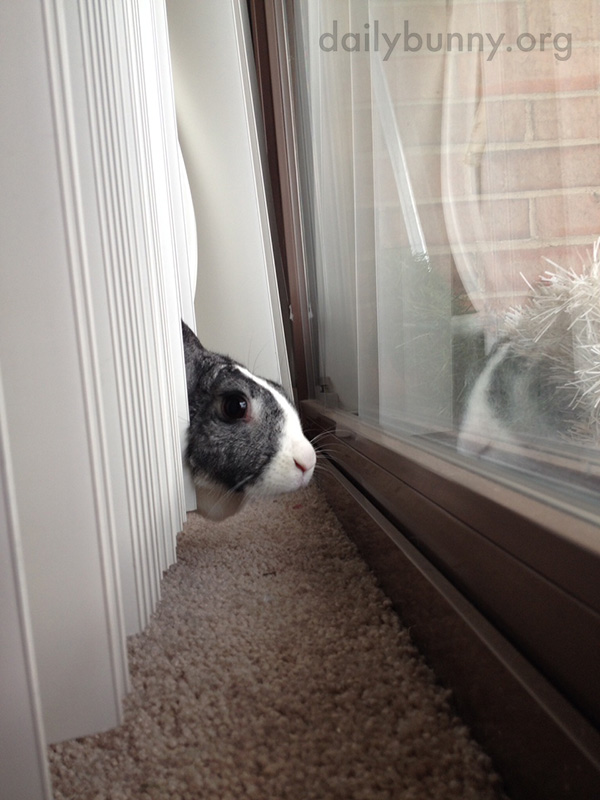 Bunny Pokes Her Head Through the Blinds to Look Out the Window