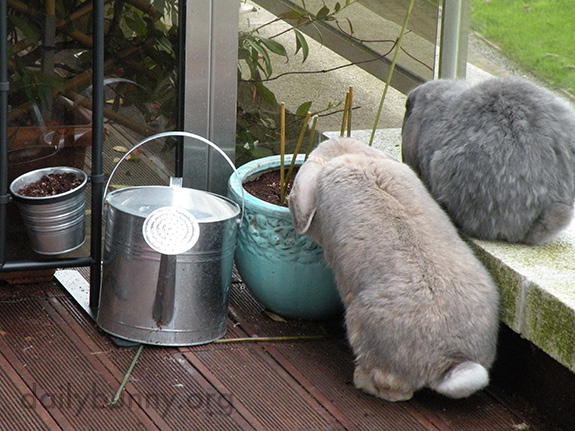 Bunnies Check the Planters, Just to Make Sure the Greens Are Growing As They Should 1