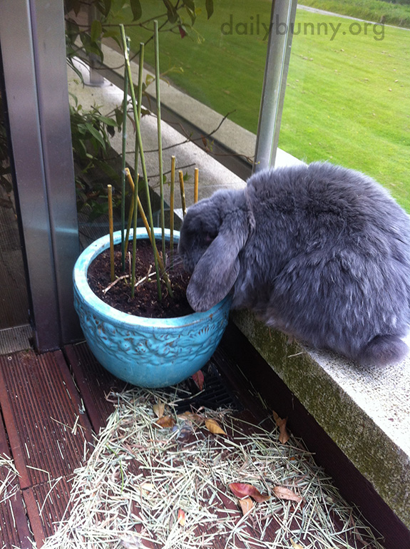 Bunnies Check the Planters, Just to Make Sure the Greens Are Growing As They Should 2