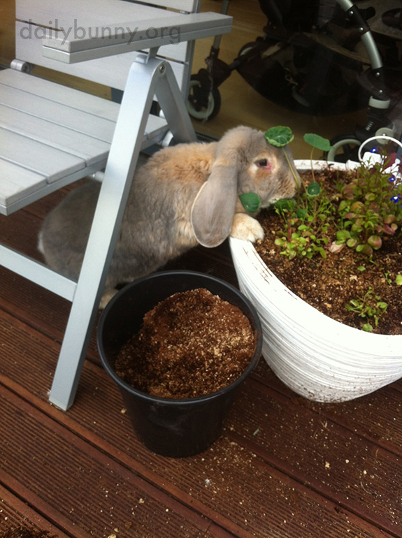Bunnies Check the Planters, Just to Make Sure the Greens Are Growing As They Should 3