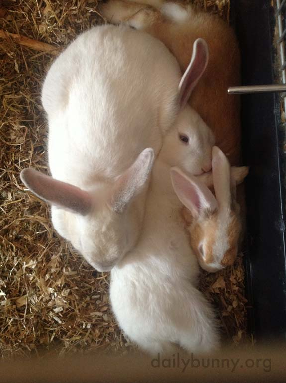Bunnies Nap in a Furry Pile 1