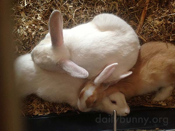 Bunnies Nap in a Furry Pile 2