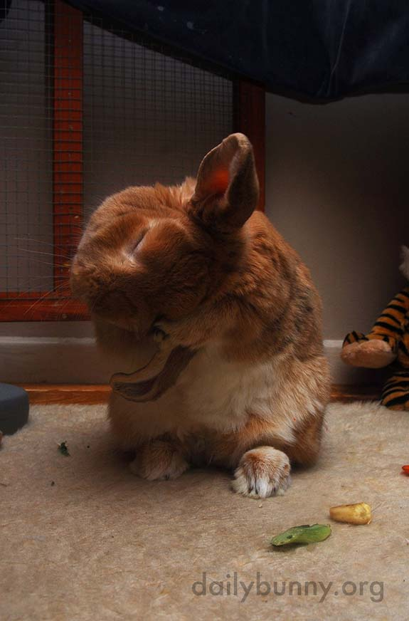 Bunny Does a Thorough Ear Wash 1