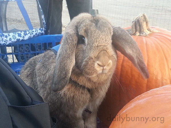 Bunny Supervises His Humans' Choice of Pumpkins and Peruses the Hay Selection 3