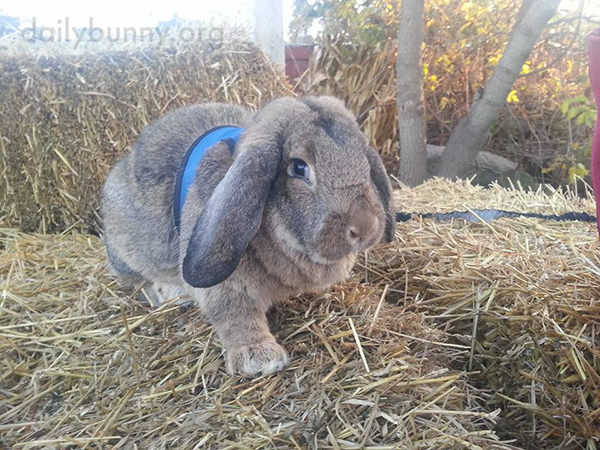 Bunny Supervises His Humans' Choice of Pumpkins and Peruses the Hay Selection 4