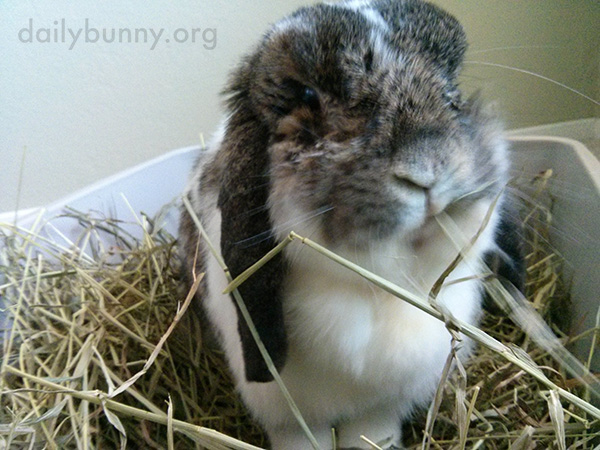 Bunny Camouflages Himself with His Hay 2