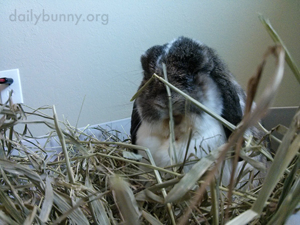 Bunny Camouflages Himself with His Hay 3