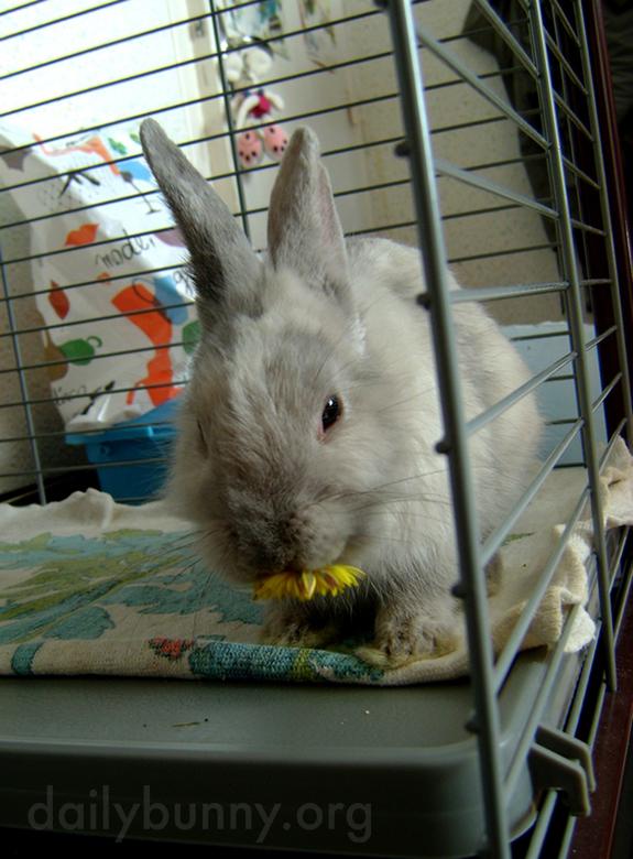 Bunny Nibbles on a Dandelion