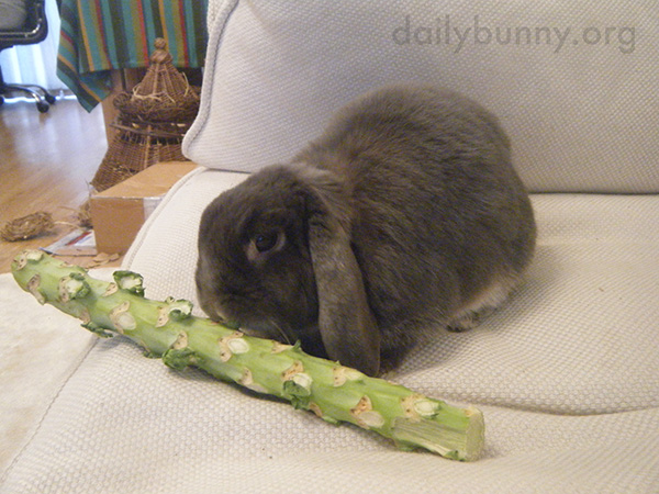 Human Distracts Bunny from His Treat 1