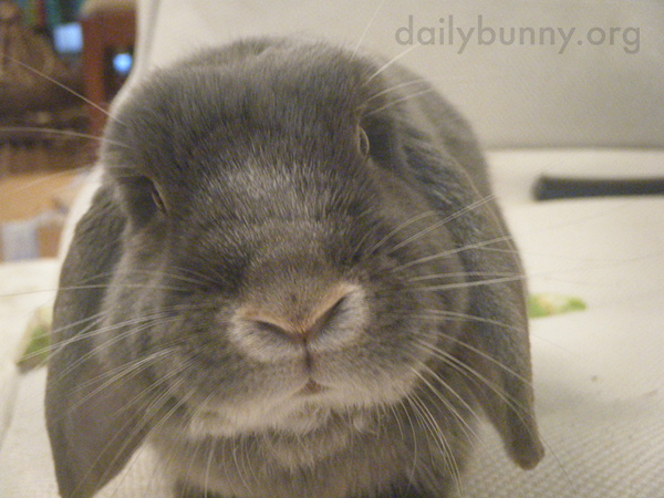 Human Distracts Bunny from His Treat 2
