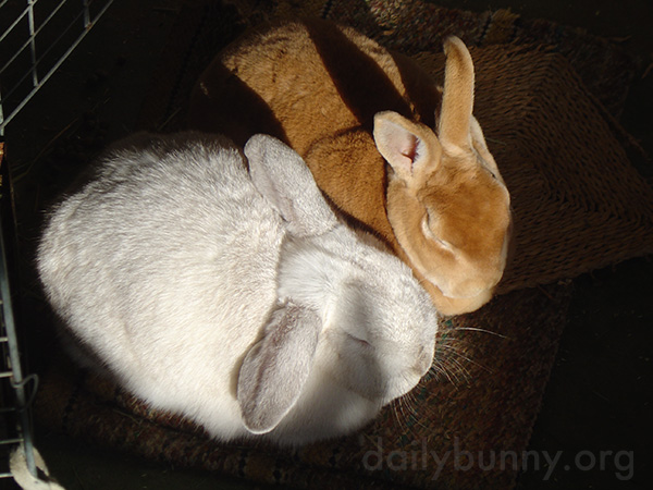 Inseparable Bunnies Are Inseparable 4