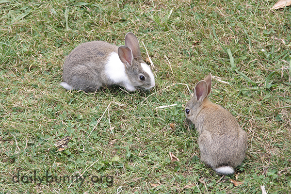 Wild Bunnies Make an Appearance in Human's Yard 1