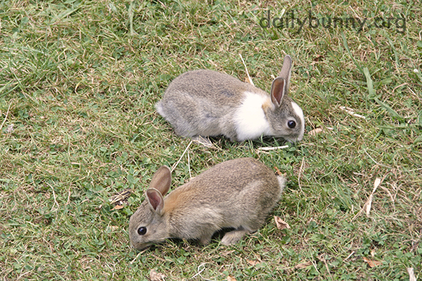 Wild Bunnies Make an Appearance in Human's Yard 2