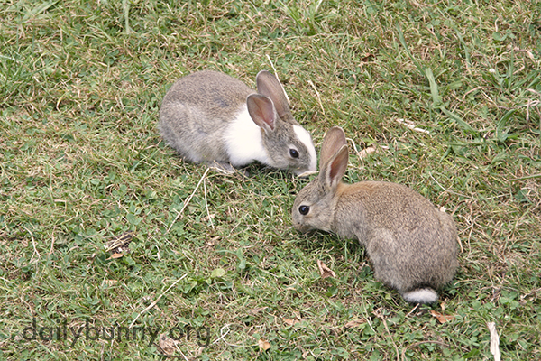 Wild Bunnies Make an Appearance in Human's Yard 3