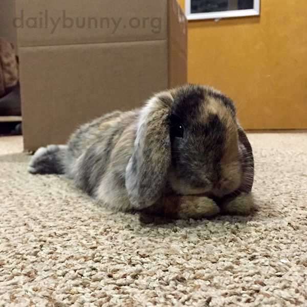 Bunny Finds a Cozy Spot on the Carpet to Stretch Out 1