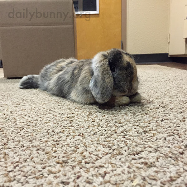 Bunny Finds a Cozy Spot on the Carpet to Stretch Out 2