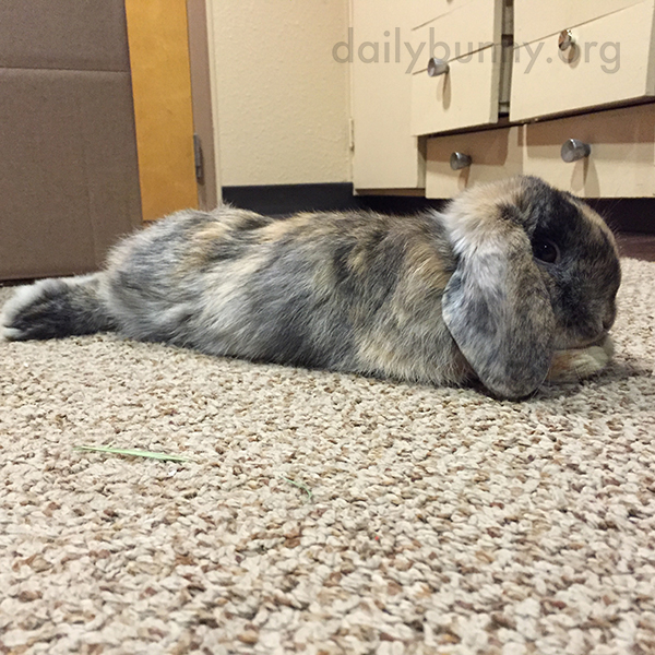Bunny Finds a Cozy Spot on the Carpet to Stretch Out 3