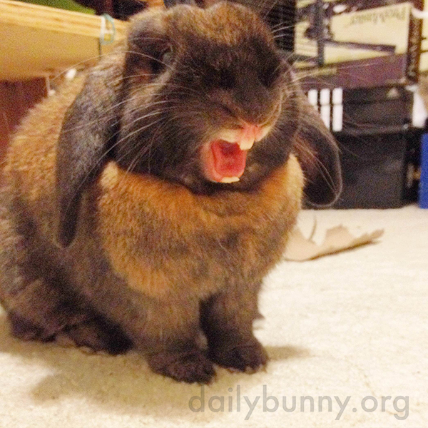Bunny, What a Fierce Yawn!