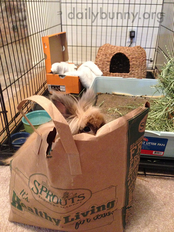 Impatient Bunny Hops in the Hay Bag