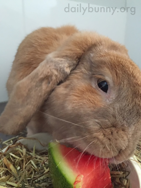 Bunny Samples Some Watermelon 1