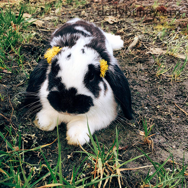 Bunny Has Dandelions Tucked in His Fur