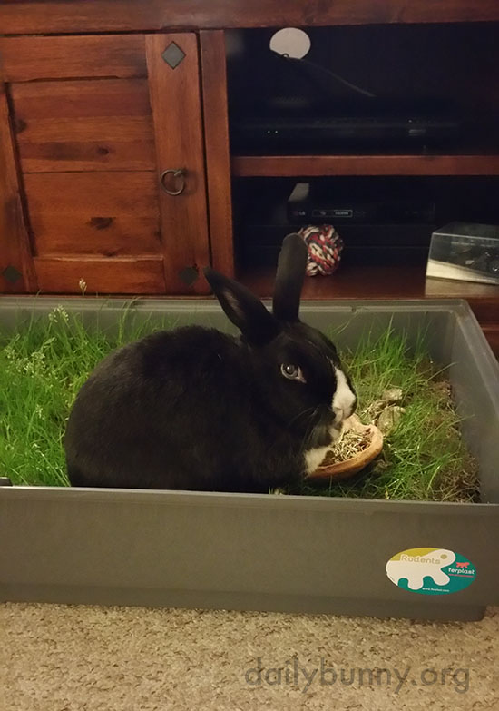 Bunnies Enjoy Their Indoor Plot of Grass 1