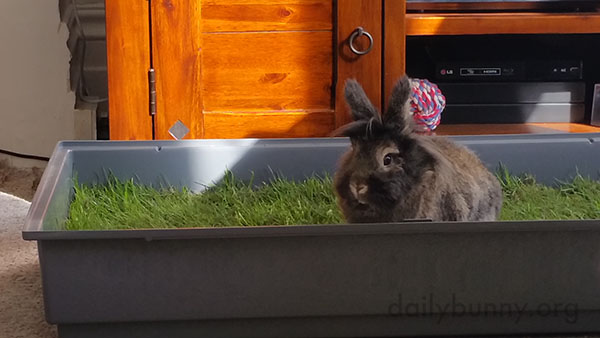 Bunnies Enjoy Their Indoor Plot of Grass 2