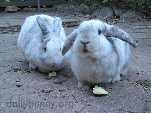 Bunnies Happily Tuck Into Some Apples 2