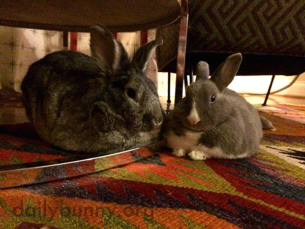 Bunnies Loaf Around Under the Table