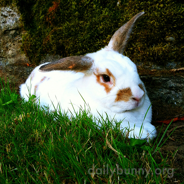 Bunny Relaxes in the Cool Grass