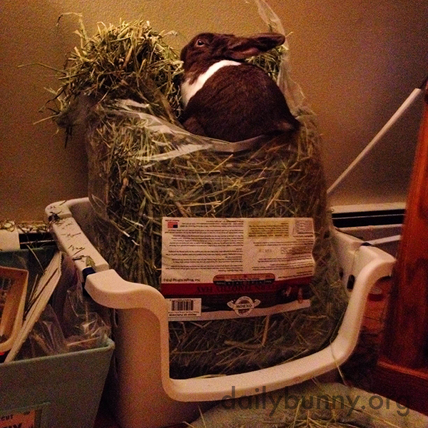 Bunny Hops Right in the Hay Bag for a Feast