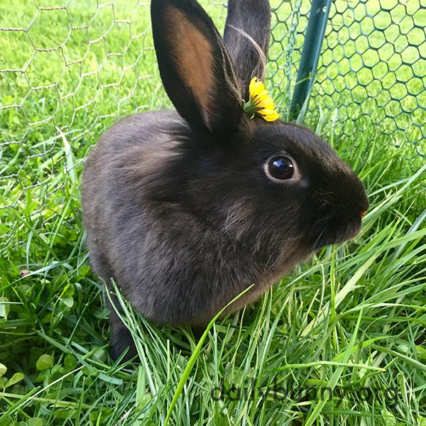 Bunny Wears a Pretty Dandelion in Her Fur