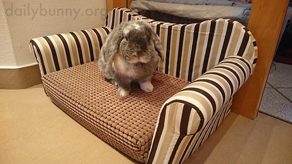 Bunny-Sits-on-His-Bunny-Sized-Sofa-2