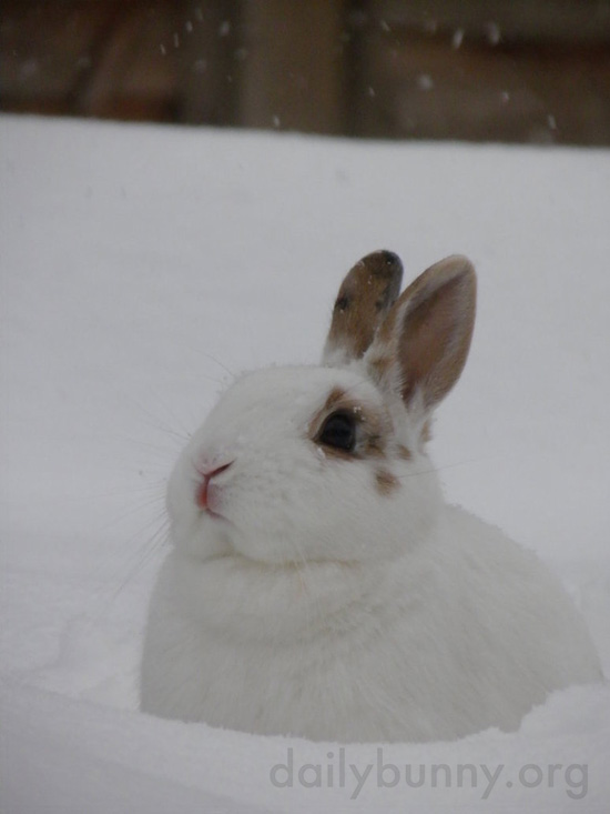 Except for Her Markings, Bunny Could Be Mistaken for a Giant Snowball