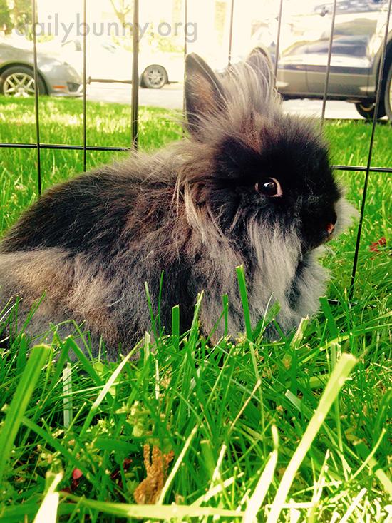 Lionhead Bunny Has Such Wispy Fur
