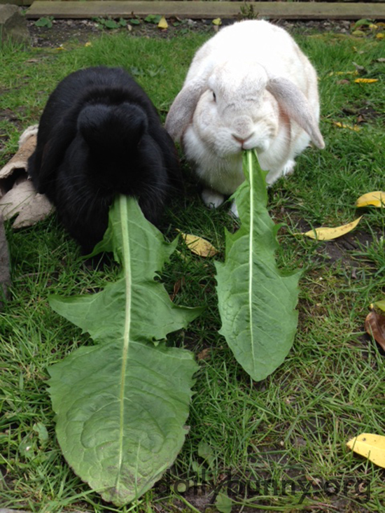 Bunnies Devour Enormous Dandelion Greens