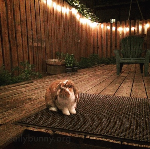 Bunny Enjoys Nighttime on the Deck