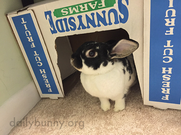 Bunny Stands at the Entrance to Her Box Fort