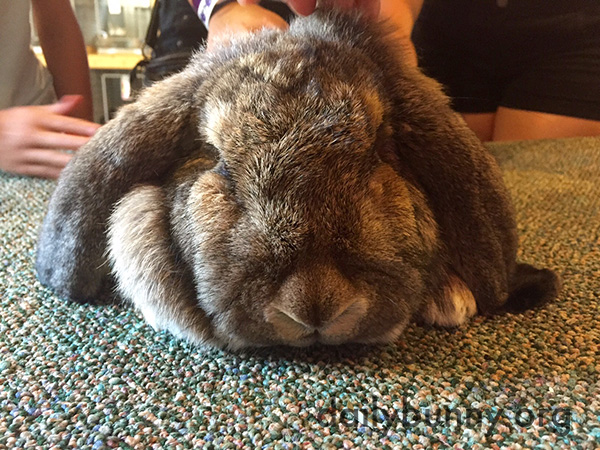 Relaxed Bunny Receives Attention from Several Humans