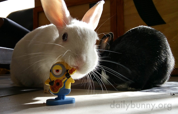 Bunnies Show Varying Degrees of Interest in Their Minion Toy 1