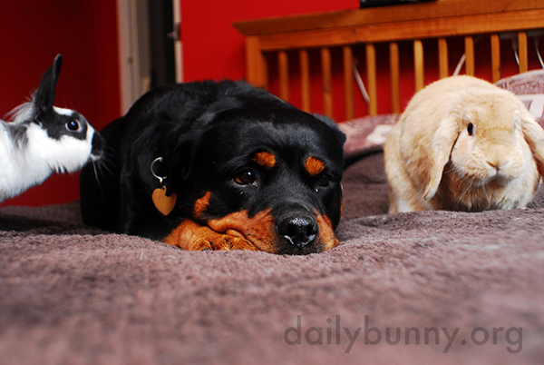 Bunnies Enjoy a Lazy Day with Their Dog Friend 1