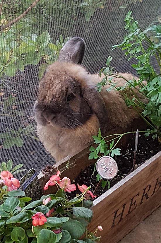Bunny Heads to the Herb Garden When He's in the Mood for a Fresh Nibble
