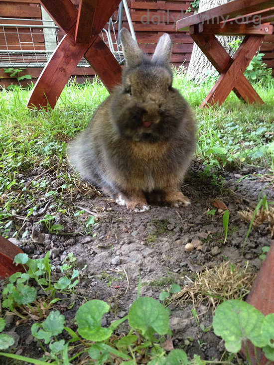 Bunny Lurks Under the Picnic Table to Catch Any Dropped Veggies 1