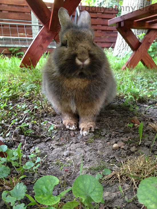 Bunny Lurks Under the Picnic Table to Catch Any Dropped Veggies 2