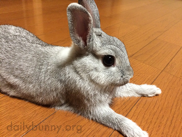 Bunny Stretches Out Those Front Legs 1